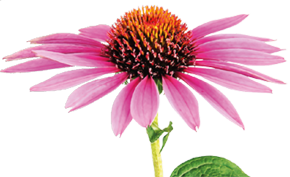 ECHINACEA, freshly picked from the Swiss Alps